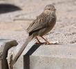 Afghan Babbler
