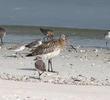Bar-tailed Godwit (Non-breeding)
