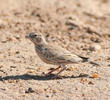 Black-crowned Sparrow-Lark (Female or immature male)