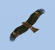 Black Kite (Juvenile)