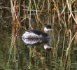Black-necked Grebe (Winter)