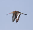 Black-tailed Godwit (Autumn)