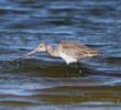 Black-tailed Godwit (Non - breeding)