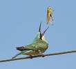 Blue-cheeked Bee-eater (Juvenile)