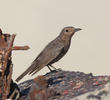 Blue Rock Thrush (Immature autumn)