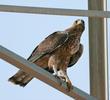 Bonelli's Eagle (Immature)