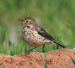 Buff-bellied Pipit (Non-breeding plumage)