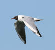 Common Black-headed Gull (Spring)
