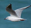 Common Black-headed Gull (Winter)
