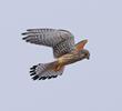 Common Kestrel (Male)