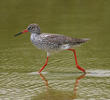 Common Redshank (Breeding plumage)