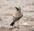 Desert Wheatear (Male)