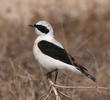Eastern Black-eared Wheatear (Male pale-throated form)