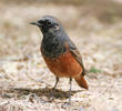 Eastern Black Redstart (Male breeding plumage)