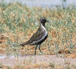 Eurasian Golden Plover (Breeding plumage)