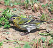 Eurasian Siskin (Non-breeding plumage)
