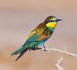 European Bee-eater (Immature autumn moulting)