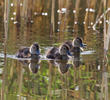 Ferruginous Duck (ducklings)