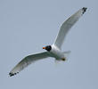 Great Black-headed Gull (Breeding plumage)