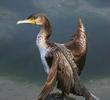 Great Cormorant (Immature)