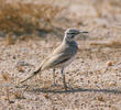 Greater Hoopoe-Lark (Male)