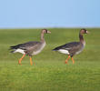 Greater White-fronted Goose (Juveniles)