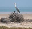 Grey Heron (Nest on Bubiyan)