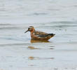 Grey Phalarope (Breeding plumage)