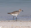 Grey Plover (Winter)
