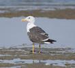 Heuglin's Gull (Spring)