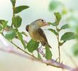 Icterine Warbler (Autumn)