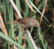 Indian Reed Warbler (Juvenile)
