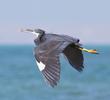 Indian Reef Heron (Dark morph)