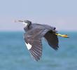 Indian Reef Heron (Dark morph)
