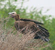 Lappet-faced Vulture (Immature)