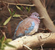 Laughing Dove (Juvenile)