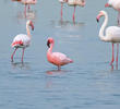 Lesser Flamingo (Among Greater Flamingos)