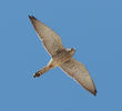 Lesser Kestrel (Female)