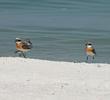 Lesser Sand Plover (Breeding plumage)