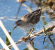 Little Crake (Juvenile)