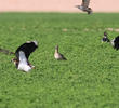Little Curlew (With Northern Lapwings and Common Starlings)