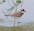 Little Ringed Plover (Breeding plumage)