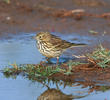 Meadow Pipit (Winter)
