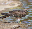Montagu's Harrier (Immature)