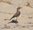 Northern Wheatear (Female)