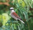 Red-backed Shrike (Male)