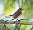 Red-breasted Flycatcher (Female)