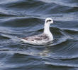 Red-necked Phalarope (Non - breeding plumage)