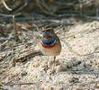 Red-spotted Bluethroat (Male breeding plumage)