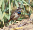 Red-spotted Bluethroat (Male)